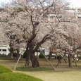 某社前庭の桜